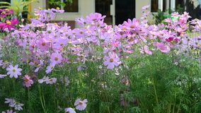 Cosmos flowers. Under sunlight at the park. HD video stock footage