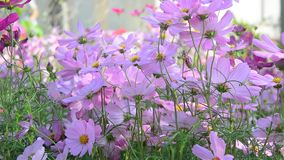 Cosmos flowers. Under sunlight at the park. HD video. Close up stock video