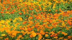 Cosmos flowers. Under sunlight at the park in Sa dec, Mekong Delta, Vietnam stock video footage