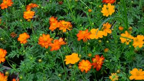 Cosmos flowers. Under sunlight at the park in Sa dec, Vietnam stock video
