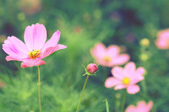 Cosmos flowers vintage Royalty Free Stock Photo