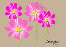 Cosmos flowers on the white background,pink cosmos Vector illustration Stock Images