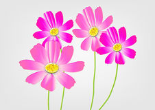 Cosmos flowers on the white background,pink cosmos Vector illustration Stock Image
