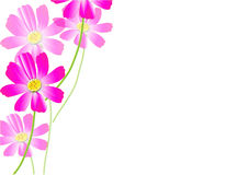Cosmos flowers on the white background,pink cosmos Vector illustration Stock Photo