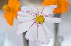 Cosmos Flowers, white and orange colored.  Stock Photos