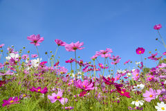 Free Cosmos Flowers With The Blue Sky Stock Photo - 36775530