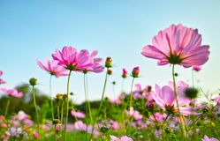 The cosmos in full bloom in the sun. The cosmos in full bloom under the sun stock photos