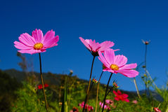Cosmos garden Royalty Free Stock Images
