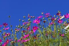 Cosmos Garden. Against blue sky stock photography