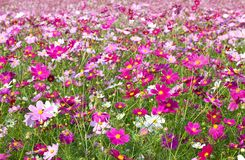 Cosmos garden. This is a picture of the cosmos garden was taken in the autumn of last year Royalty Free Stock Photography