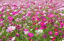 Cosmos garden Royalty Free Stock Photography