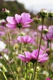 Cosmos. In garden Royalty Free Stock Photos