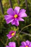 Cosmos. In garden Royalty Free Stock Photo