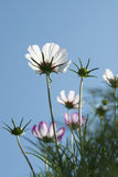 Cosmos in garden Stock Photography