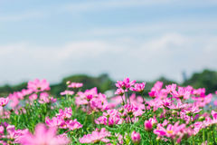 Cosmos in garden and sky. Stock Images