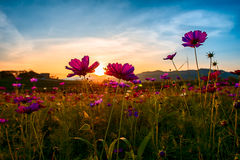 Cosmos garden. Sunset chaing rai thailand Royalty Free Stock Photography