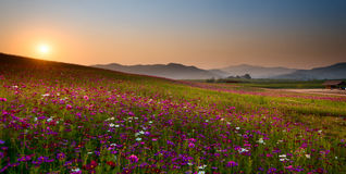Cosmos garden. Sunset chiang rai thailand Stock Photo