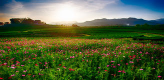 Cosmos garden. Sunset chiang rai thailand Stock Photos
