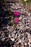 Cosmos growth in the stone seam Stock Photos