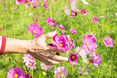 Cosmos in hand Stock Photo