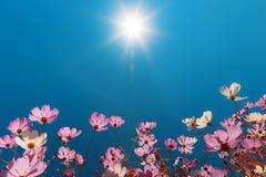 Cosmos hermoso de las flores contra el cielo azul Imágenes de archivo libres de regalías
