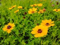 Cosmos jaune. Images stock
