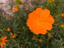 Cosmos jaune Photo libre de droits