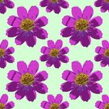 Cosmos, Kosmeya. Seamless pattern texture of flowers.  Royalty Free Stock Photos