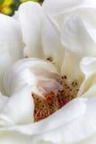 Cosmos Meilland rose Stock Photos