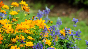 Cosmos or Mexican aster Royalty Free Stock Photo
