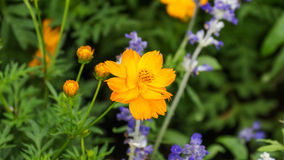 Cosmos or Mexican aster Stock Image