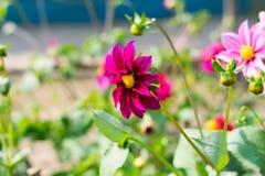Cosmos mexicano do áster ou do jardim O bipinnatus de Dahlia Cosmos, é um copo de tamanho médio deu forma à planta de amor do sol fotografia de stock royalty free