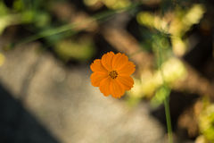 Cosmos orange Photographie stock libre de droits