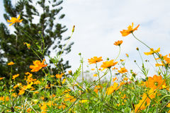 Cosmos orange fields Stock Photos