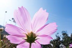 Big cosmos(Gesang flowers) Royalty Free Stock Photos