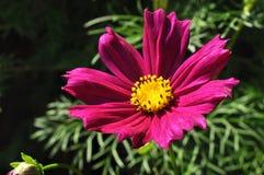 Cosmos púrpura Imagen de archivo libre de regalías