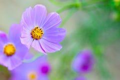 Cosmos púrpura y amarillo Imágenes de archivo libres de regalías