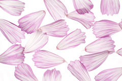 Cosmos petals Royalty Free Stock Images