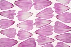 Cosmos petals Royalty Free Stock Image