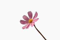 Cosmos. Pink cosmos bipinnatus flower isolated Stock Image