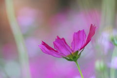 Cosmos pink on blurred background Royalty Free Stock Images