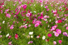 Cosmos pink color flowers on a sunny day. Cosmos flowers pink colo in the field on a sunny day royalty free stock images