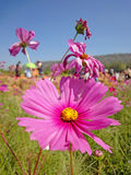 Cosmos pink flower Stock Images