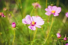 Cosmos pink flower Stock Photos