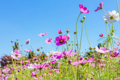 Cosmos pink flower Family Compositae Stock Images