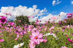 Cosmos pink flower Family Compositae Stock Image