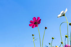 Cosmos pink flower Family Compositae Royalty Free Stock Photos