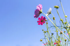 Cosmos pink flower Family Compositae i Royalty Free Stock Image