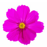 Cosmos pink flowers. Low poly illustration One Cosmos dark pink flower on white background Royalty Free Stock Photo