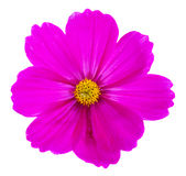 Cosmos pink flowers Royalty Free Stock Photos